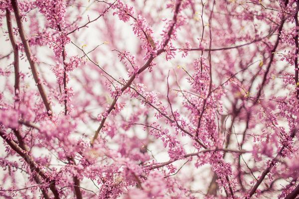 tree-blossoms-3
