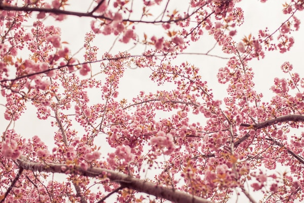 tree-blossoms-1